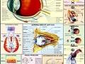 Chart - Human Eye